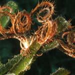 crinoide 76 150x150 Antedon mediterranea   Crinoide