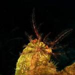 crinoide 83 150x150 Antedon mediterranea   Crinoide