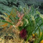 crinoide 86 150x150 Antedon mediterranea   Crinoide