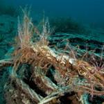 crinoide 89 150x150 Antedon mediterranea   Crinoide