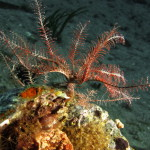 crinoide 93 150x150 Antedon mediterranea   Crinoide