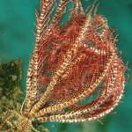 crinoide 95 150x150 Antedon mediterranea   Crinoide