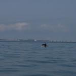 delfino tursiope 29 150x150 Delfino tursiope