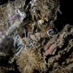 gamberetto fantasma cuore 57 150x150 Periclimenes amethysteus   Gamberetto fantasma cuore