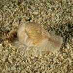 naticaria punteggiata 18 150x150 Natica stercusmuscarum   Naticaria punteggiata