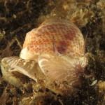 naticaria punteggiata 21 150x150 Natica stercusmuscarum   Naticaria punteggiata
