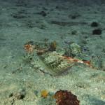 pesce civetta 03 150x150 Dactylopterus volitans, Cephalacantus volitans, Pesce civetta