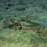 pesce civetta 04 150x150 Pesce civetta