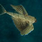 pesce civetta 08 150x150 Dactylopterus volitans, Cephalacantus volitans, Pesce civetta