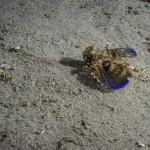 pesce civetta 10 150x150 Dactylopterus volitans, Cephalacantus volitans, Pesce civetta