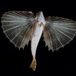 pesce civetta 15 150x150 Pesce civetta