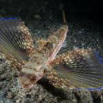 pesce civetta 17 150x150 Dactylopterus volitans, Cephalacantus volitans, Pesce civetta