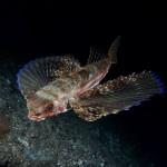 pesce civetta 18 150x150 Pesce civetta