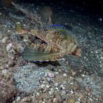 pesce civetta 19 150x150 Dactylopterus volitans, Cephalacantus volitans, Pesce civetta