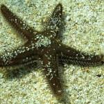 stella spinosa 14 150x150 Astropecten spinulosus, Stella spinosa