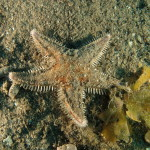 stella-spinosa-grande-20