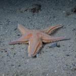 stella-spinosa-grande-21
