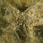 stella spinulosa 25 1 150x150 Astropecten spinulosus, Stella spinosa