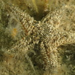 stella spinulosa 25 150x150 Astropecten spinulosus, Stella spinosa