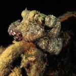 polpo 1001 150x150 Octopus vulgaris   Polpo