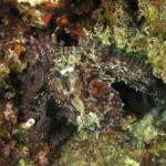 polpo 102 1 150x150 Octopus vulgaris   Polpo