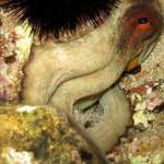 polpo 110 150x150 Octopus vulgaris   Polpo