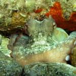 polpo 111 150x150 Octopus vulgaris   Polpo