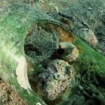 polpo 71 150x150 Octopus vulgaris   Polpo