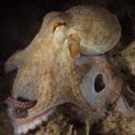 polpo 76 150x150 Octopus vulgaris   Polpo