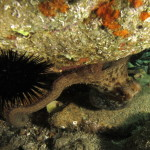 polpo 93 150x150 Octopus vulgaris   Polpo