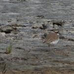 uccello corriere grosso 04 150x150 Charadrius dubius   corriere piccolo