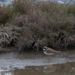 uccello corriere grosso 06 150x150 Charadrius dubius   corriere piccolo