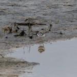uccello corriere grosso 08 150x150 Charadrius dubius   corriere piccolo