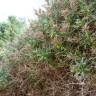 Centaurea ibrida di forsyth