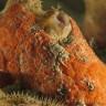 Cymodoce truncata, Cimodoce troncata