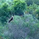 falco di palude 03 150x150 Falco di palude