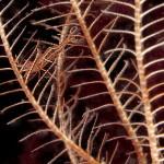 gamberetto del crinoide 27 150x150 Hippolyte prideauxiana   Gamberetto del crinoide