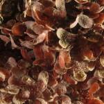 gimnocongrus cremulatus 05 150x150 Alga gimnocongrus