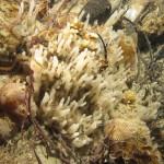 oceanapia isodictyformis 08 150x150 Spugna oceanapia