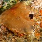 planocera cornuta 38 150x150 Planocera ceratommata   Planocera cornuta