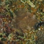 platelminta planocera 36 150x150 Planocera ceratommata   Planocera cornuta