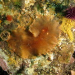 platelminta planocera ceratommata 10 150x150 Planocera ceratommata   Planocera cornuta