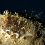 spirobranco politrema 02 150x150 Spirobranchus polytrema   Spirobranco politrema