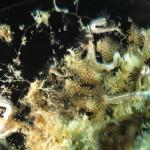 spirobranco politrema 04 150x150 Spirobranchus polytrema   Spirobranco politrema
