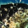Spirobranchus polytrema - Spirobranco politrema