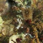 spirobranco politrema 06 150x150 Spirobranchus polytrema   Spirobranco politrema