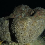 spugna nera 45 150x150 Sarcotragus foetidus   Spugna nera