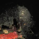 spugna nera spinosa 13 150x150 Spugna nera spinosa