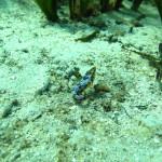 succhiascoglio minimo 04 150x150 Apletodon incognitus   Succhiascoglio minimo