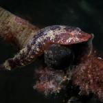 succhiascoglio minimo 08 150x150 Apletodon incognitus   Succhiascoglio minimo